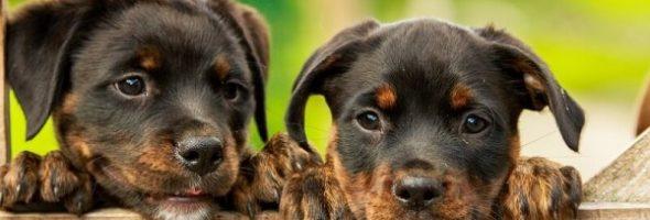 Escoger Criar un perro