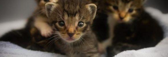 Piojos en los Gatos Como Quitarlos