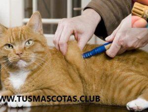 La Diabetes en Gatos