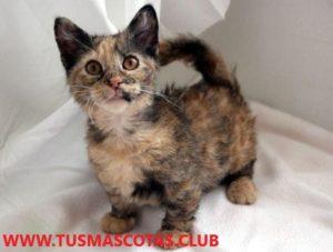 En este artículoRaza de gato que sigue siendo pequeña: TOP 5de PlanetAnimal, le presentaremos 5 razas de gatos que siguen siendo pequeñas.Le i